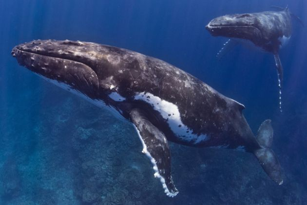 Best of Tonga's Whales - 2016 Pictorial