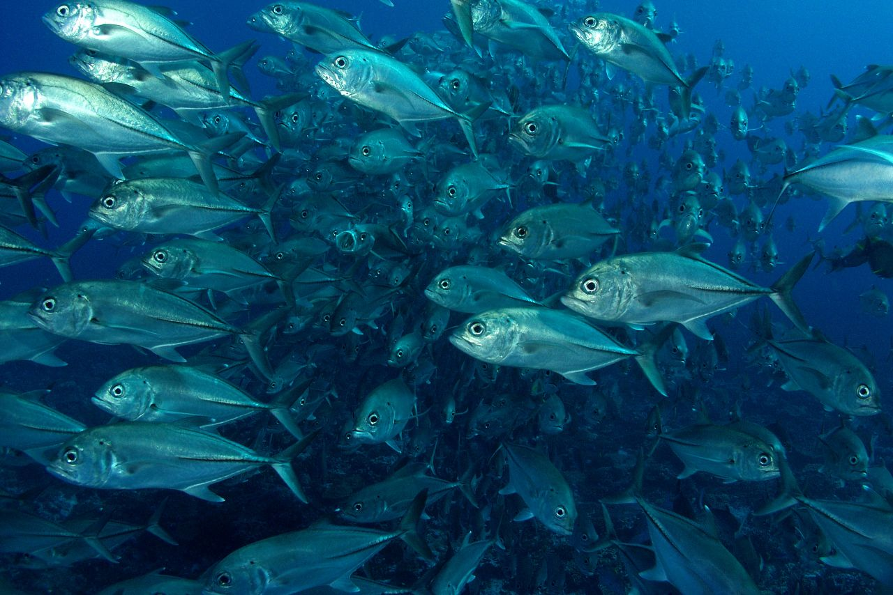 Large schools of big eye trevally patrol several offshore divesites.