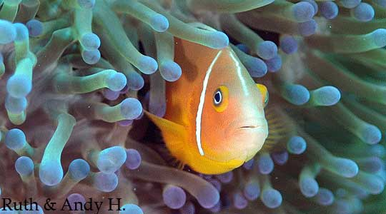 Anemone fish make for great photo oputunities.