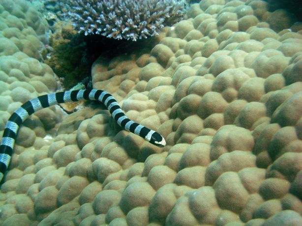 Banded Sea Snake seraching for food. By Volker