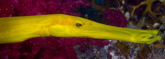 Yellow Trumpet Fish poses for Sue