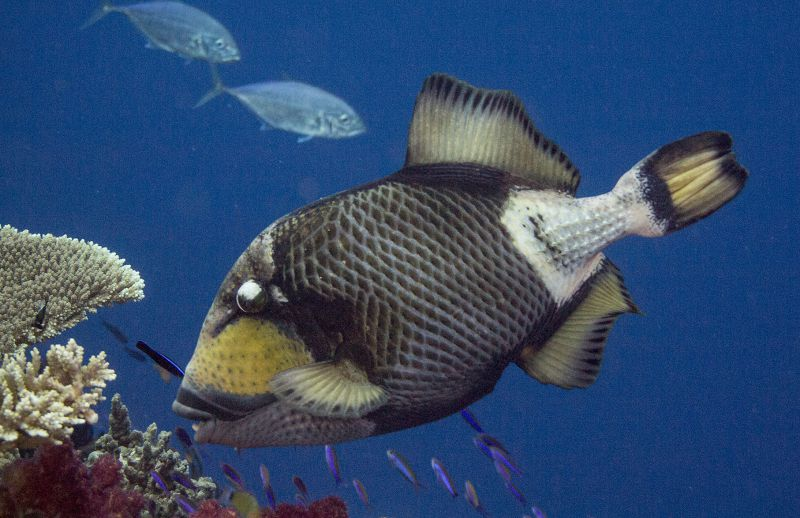 Titan Triggerfish by Sue