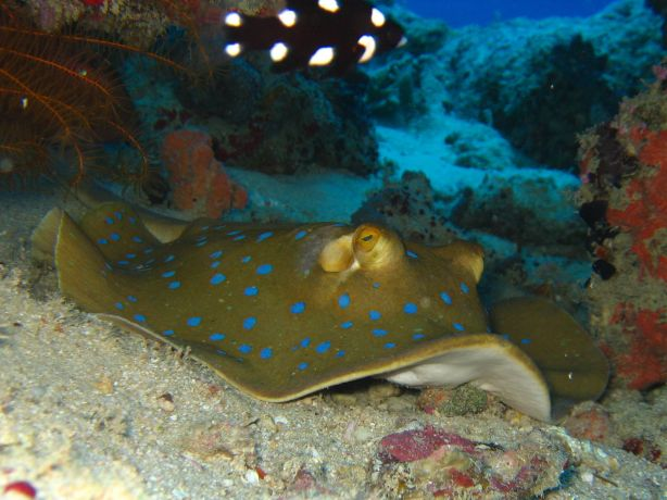 Blue spotted sting ray, taken by Alex