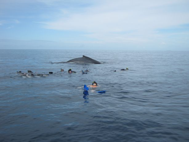 Dolphins, Pilot & Humpbacks all together - taken by Eddie