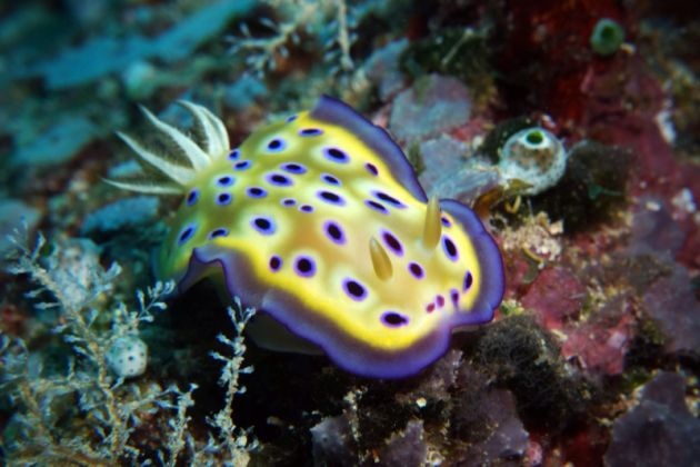 Brilliant Kune's chromodoris - by Beate