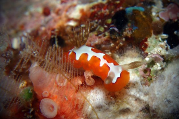 Jigsaw nudibranch - by Beate