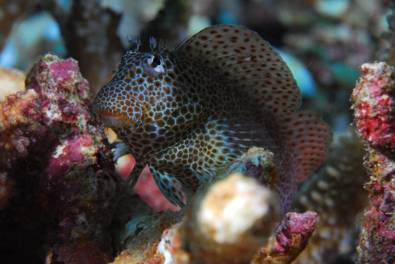 Leopard Blenny by Dick