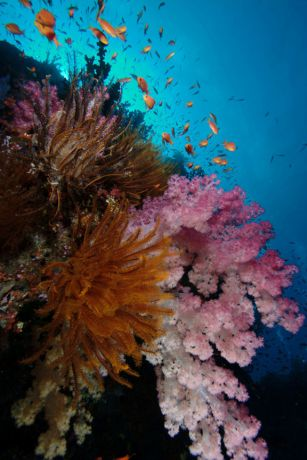 Huge amounts of Soft Coral on Fiji's reefs
