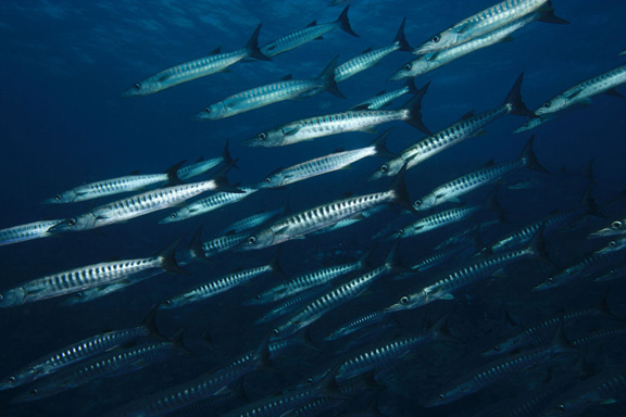 A school of Barracuda swoops in on Tony in Vatu-i-ra