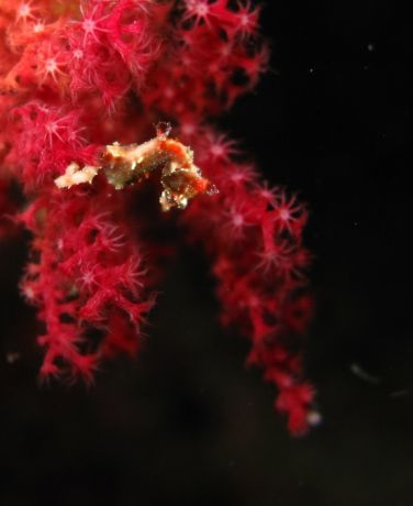 Roz finds a Pygmy Seahorse on a night dive in Namena
