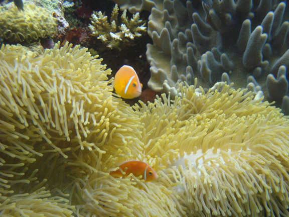 Anemone Fish poses for Ernie
