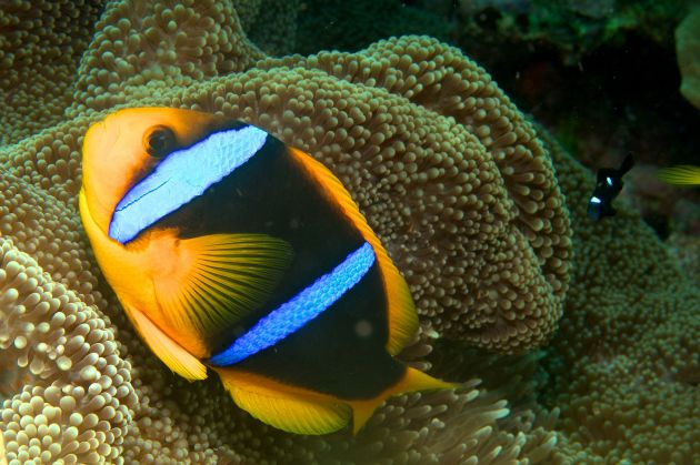protective Anemone Fish - taken by Al