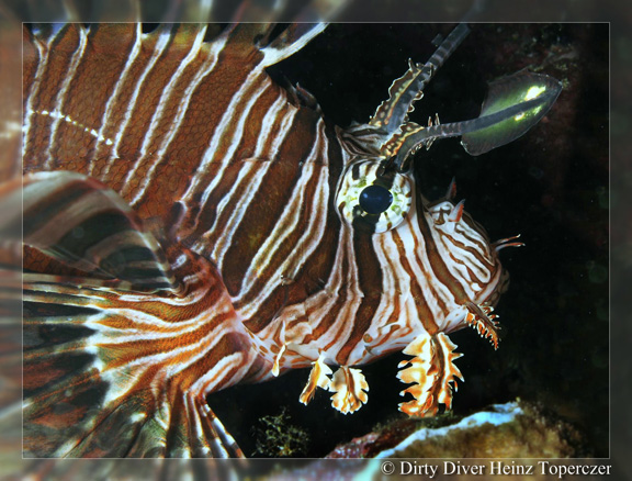 Lion Fish hunting - taken by Heinz