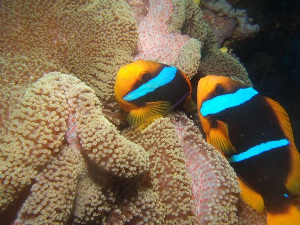 Clarks Anemone Fish: taken by Tony