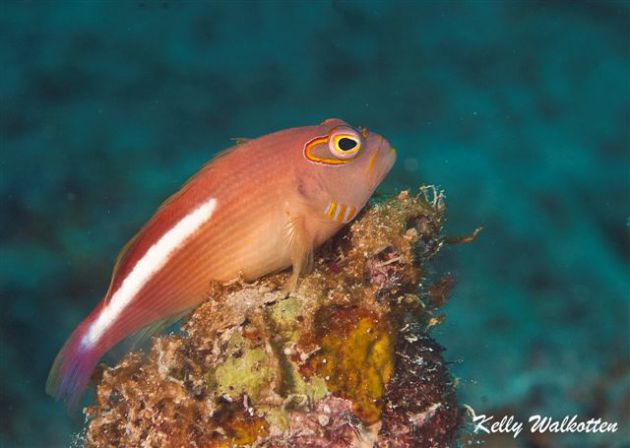 Arc-eyed Hawkfish posesBy Kelly