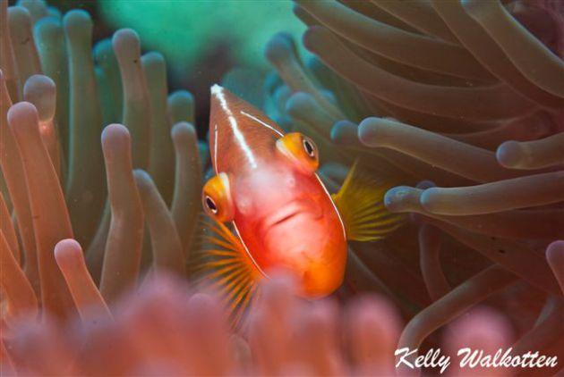 Pink Anemone fish giving the evil eye! By Kelly