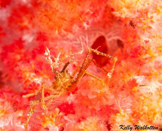 Dccorator crab hiding out in some soft coral. By Kelly