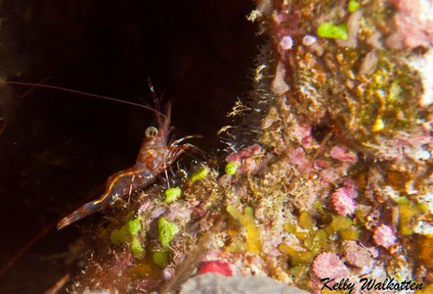 Fantastic humpback prawn. By Kelly