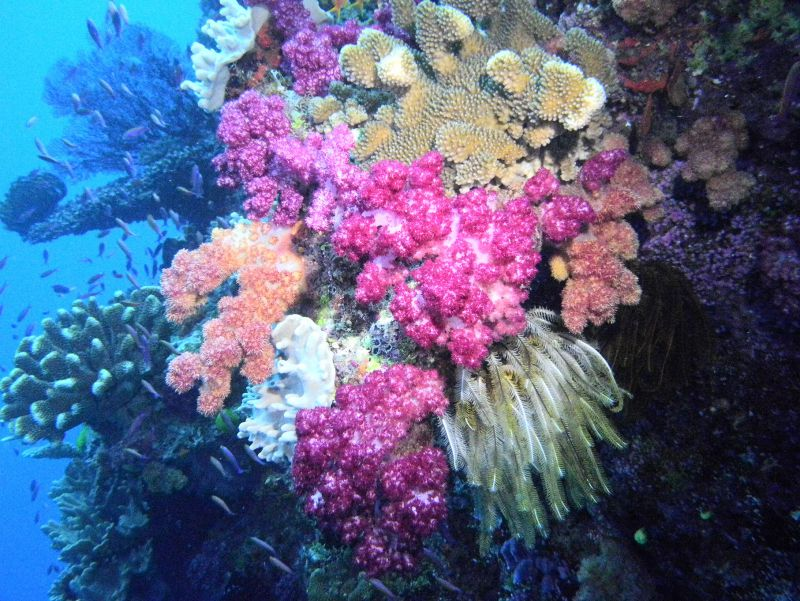 Soft Corals by Joe