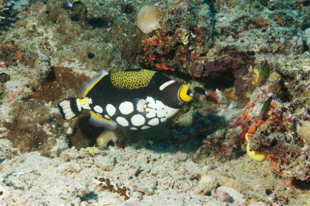 Treiffic colourful clown triggerfish. By Mike