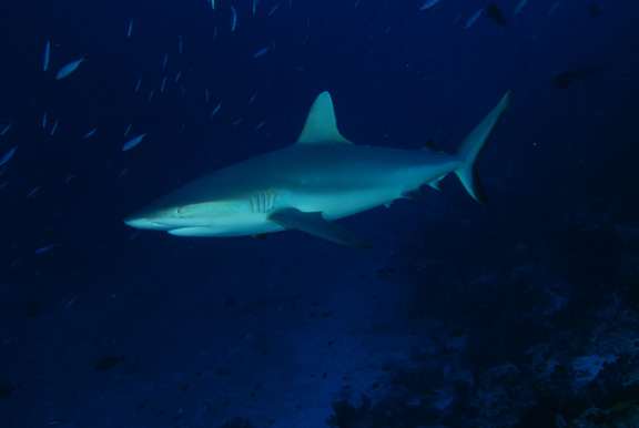 Cruising Grey Reef Shark; Taken by Russ