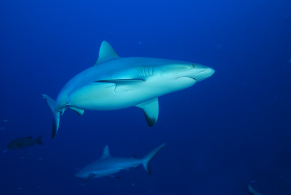 Healthy grey reef sharks abundant in Gna; Taken by Russ