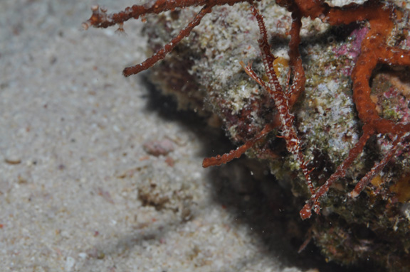 Ornate Ghost Pipe Fish found at NSAT - captured by Teresa
