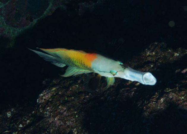 Sling Jaw wrasse slinging his jaw!! By Mike