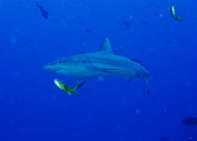 Ningali passage offers some close encounters with grey reef sharks. By Mike