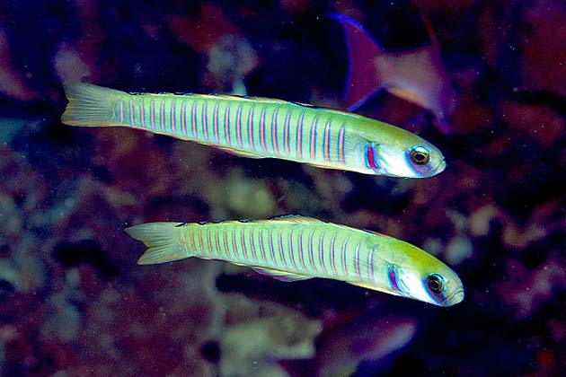 Zebra Dartfish by Paul