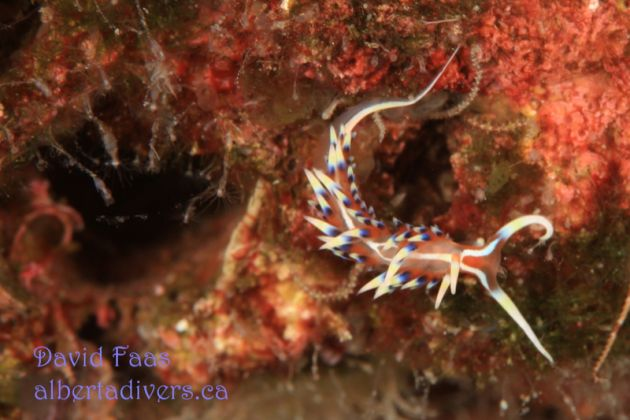 Frilly flabellina - by David