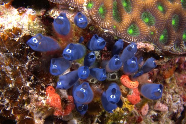 Blue tunicates - by Darrian