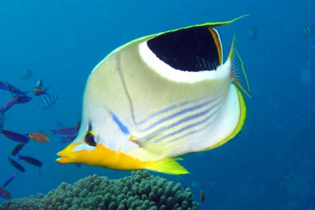 It's a lonely saddled butterflyfish world. by Eric A