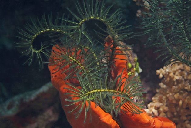 Crinoid by Jane