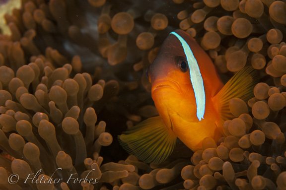 Fiji's own anemone fish; Taken by Fletcher F.