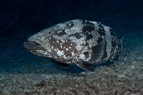 Curious grouper; Taken by Fletcher F.