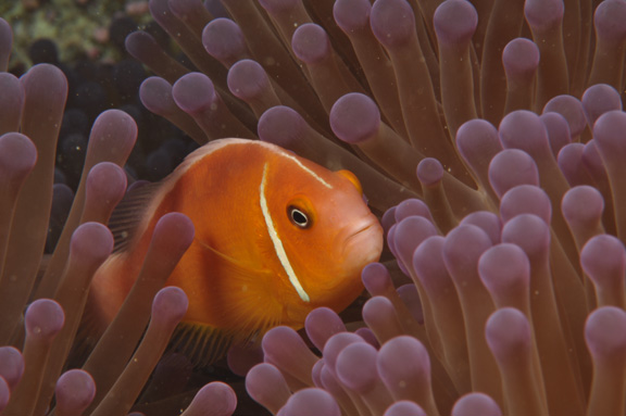 Pink Anemone Fish poses for fritz