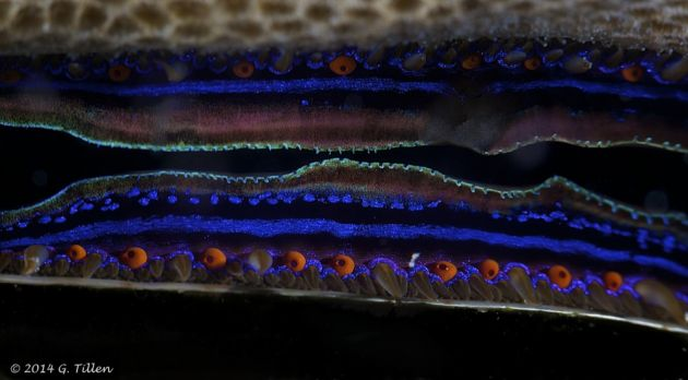 Primitive eyes of the iridescent scallop - by GT
