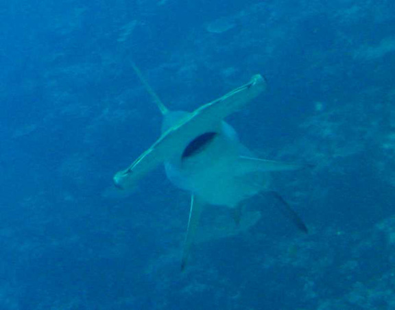 Helen gets up close with a hammerhead whilst running a transect!!!