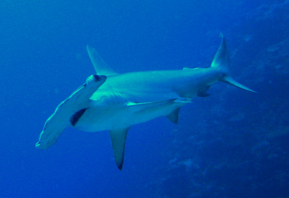 Helen gets great Hammerhead photos.