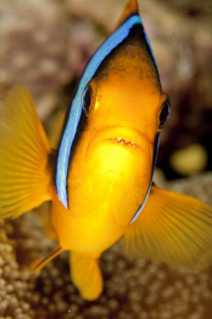 Clarks Anemone fish get aggressive with Steve