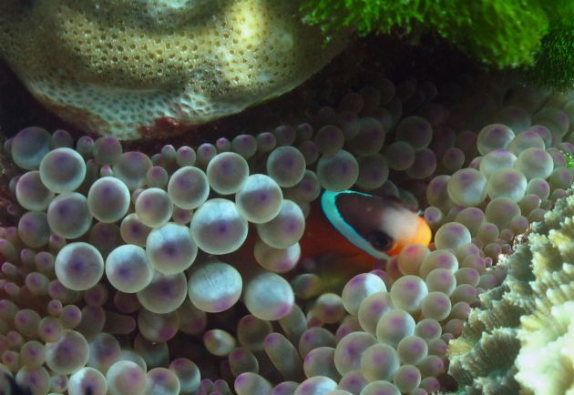 Brave Anenome fish guards his home, taken by Jim