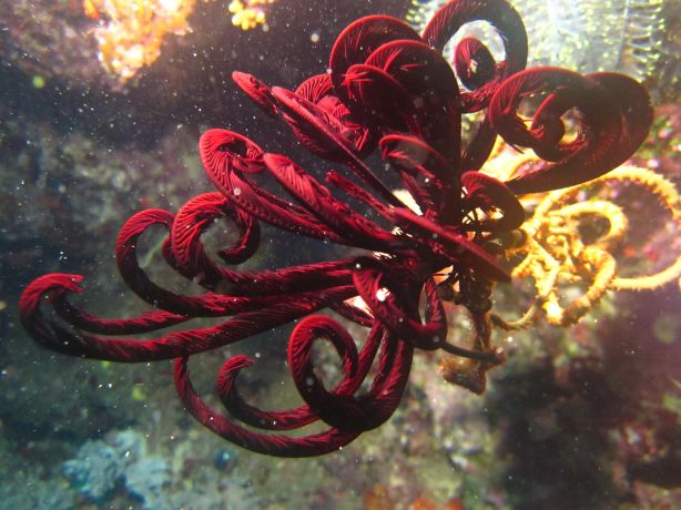 Crinoid feeding. Taken by Bailey