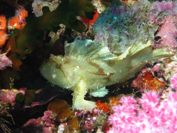Scorpion Leaf fish trying to hide in Vatu-I-ra, captured by Bailey
