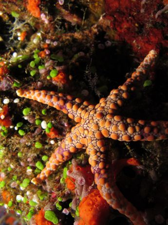 Sea star on reef wall; Taken by Jayne M.