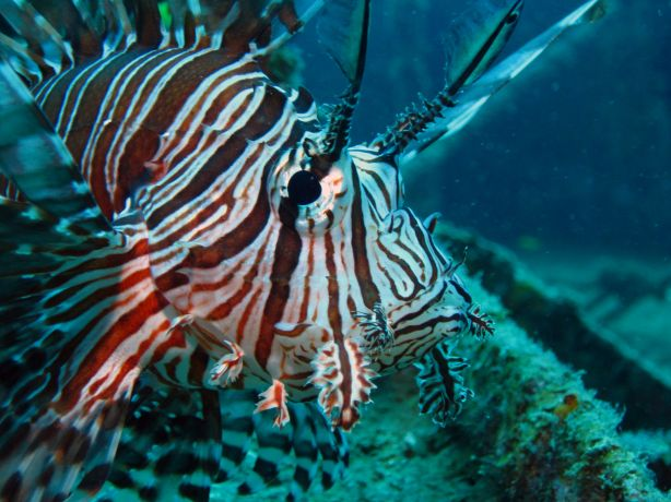 A voracious predator, the common Lion Fish is always on the hunt, captured by Bailey