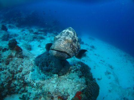 Curious Malabar Grouper by Allen
