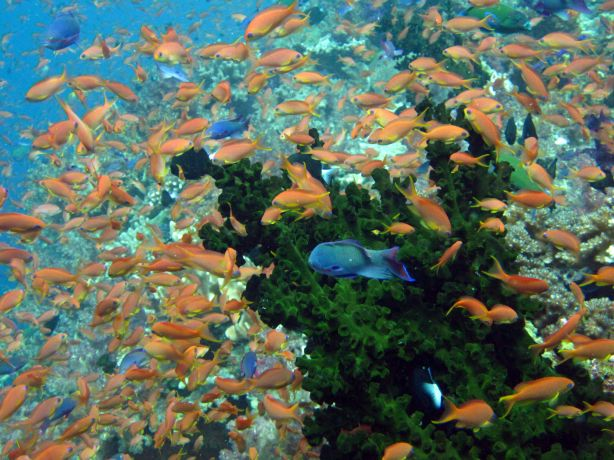 Tubastria covered in Anthias, taken by Bailey