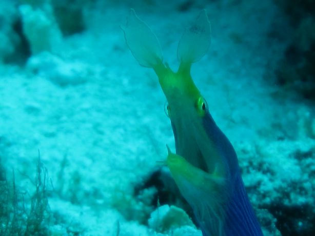 Blue Ribbon Eel at Wakaya: taken by Warren