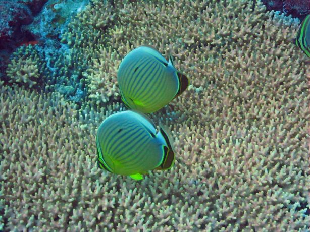 Butterfly fish feeding from the hard corals polyps, taken by Bailey